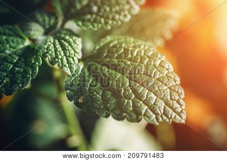 Green leaf plant in sunlight , foliage background, macro photo, selective focus