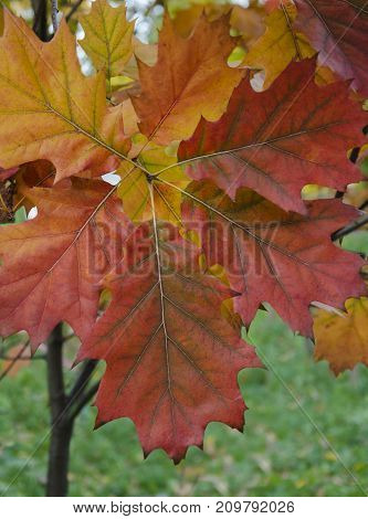 Autumn red and yellow maple leaves on a background of green grass in the park