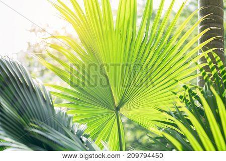 Borassus flabellifer,Sugar palm, Cambodian palm isolated on white background