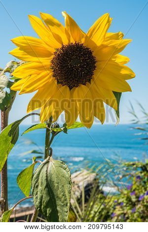 Sunflower field. Sunflower with blue sky and the sea in backgorund. Summer background bright yellow sunflower over blue sky. Landscape with sunflower field over cloudy blue sky