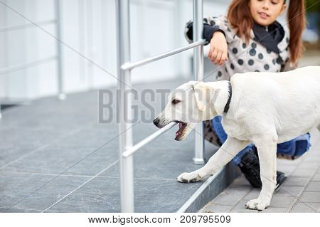 Beautiful white labrador retriver walking and standing on the street. Dog having fun on the nature background. Close-up of doggy. Animal concept.