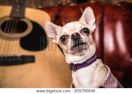 Chihuahua looks next to the acoustic guitar in the frame