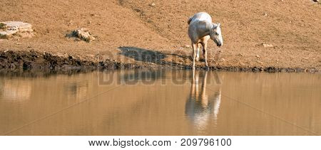 Palomino stallion wild horse reflecting in the water at the water hole in the Pryor Mountains Wild Horse Range in Montana United States