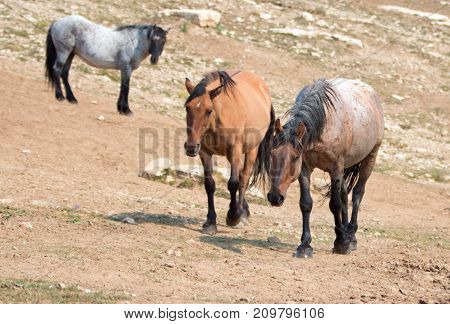 Wild Horses - Red Roan and Dun Buckskin stallions with Blue Roan stallion in the background in the Pryor Mountains Wild Horse Range in Montana United States