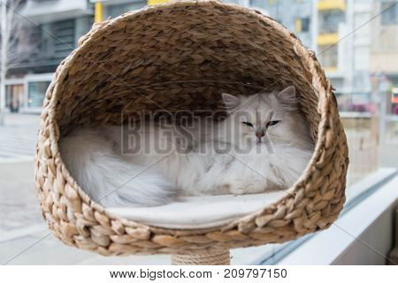 A chinchilla persian cat relaxing in a cat bed