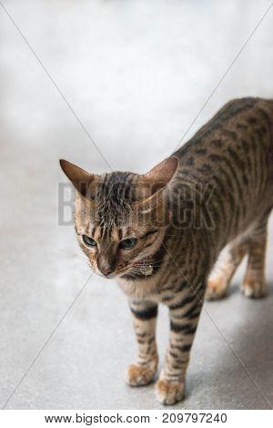 Close up of a bengal cat indoors