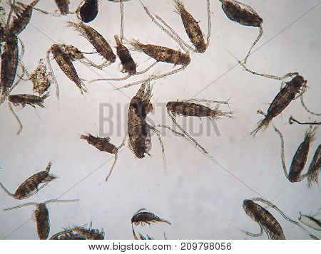 Copepods are a group of small crustaceans found in the sea and nearly every freshwater habitat are under microscope view.