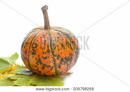 Food Concepts. Closeup of Natural Yellowish Pumpkin with Long Stem Over Pure white Background. Laid with Maple Leaves. Horizontal Image Composition