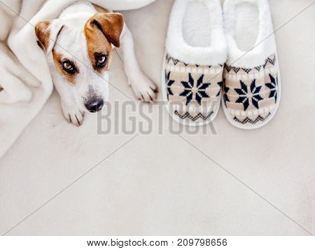 Dog near to slippers under the rug. Soft and cozy home accessories