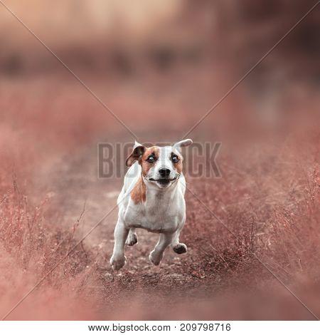 Dog running at autumn. Jack russel terrier outdoors. Pet jumping.