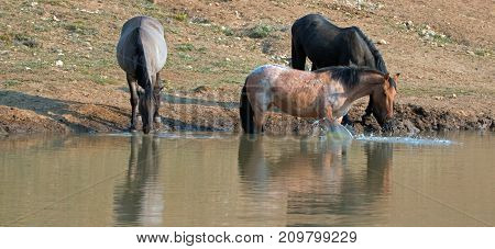 Red Roan mare reflecting in the water while splashing before drinking at the waterhole with Grulla and Black wild horses in the Pryor Mountains Wild Horse Range in Montana United States