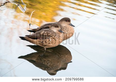 Two female chestnut teal ducks in shallow water in a zoo in England UK