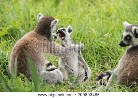 A yawning young ringtailed lemur and adult lemurs sitting in grass