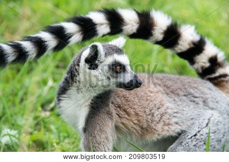 Side view of a ring tailed lemur with its long striped tail raised over its back