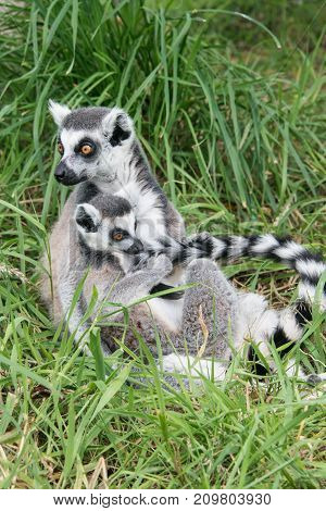 A young ring tailed lemur sits with its parent and plays with its tail