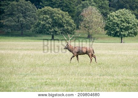 A red deer stag walking through a field at Woburn abbey UK