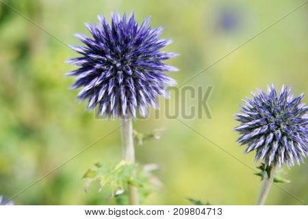 Purple globe thistles in a garden in the UK