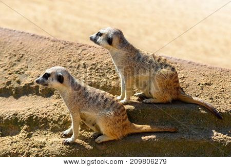 Cute Meerkat ( Suricata suricatta ) in the sand. Funny African animals.