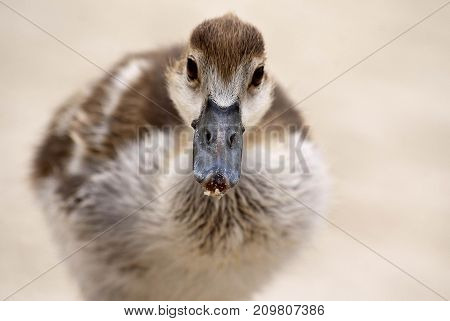 An egyptian goose gosling on a beach in South Africa