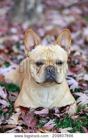 French Bulldog in Foliage in Northern California
