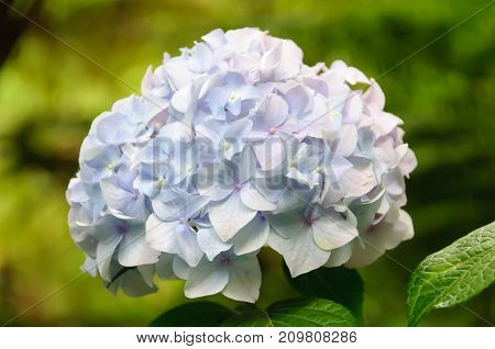 Hydrangea is a beautiful and hardy shrub and a true favourite in Australian gardens - Dandenong Ranges, Victoria, Australia