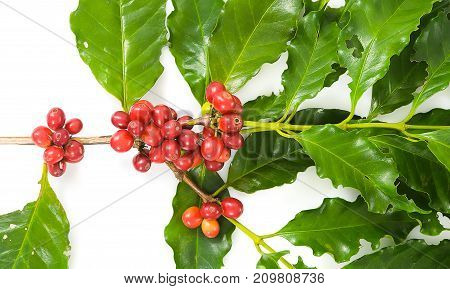Coffee Cherry isolate on white background, Close up