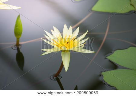 Lotus Flowers Blooming On The Pond In Summer