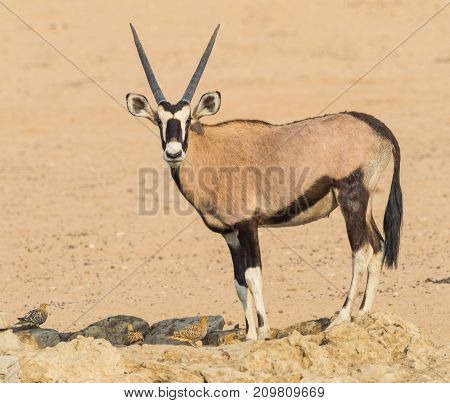 A gemsbok drinking with Namaqua Sandgrouse in the Kgalagadi Transfrontier Park which straddles South Africa and Botswana.