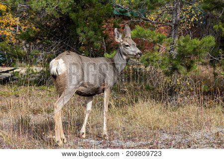 A Mule Deer doe at Panorama BC.