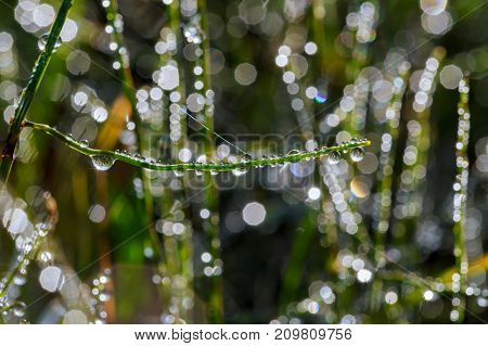 Morning Dew Drops On The Grass
