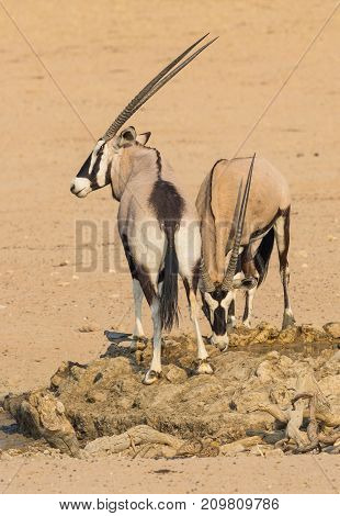 A pair of gemsbok at a waterhole in the Kgalagadi Transfrontier Park, situated in the Kalahari Desert which straddles South Africa and Botswana.