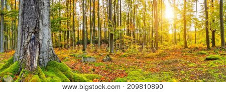 Beautiful colored beech trees in autumn, landscape photography. Outdoor and nature photography.