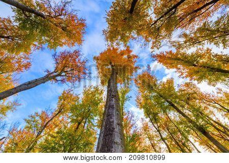 Autumn beech trees crowns. Beautiful seasonal nature photography.
