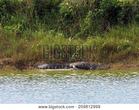 Alligator at Ding Darling National Wildlife Refuge Sanibel Florida