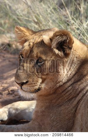A lion resting in the wilds of Africa