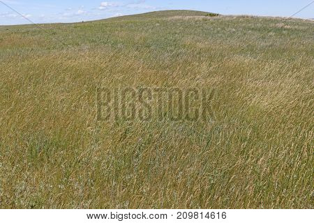 Prairie Grasses on the Great Plains in Theodore Roosevelt National Park in North Dakota