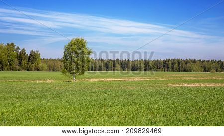 The tree grows in the middle of the field against the background of the forest and the blue sky.