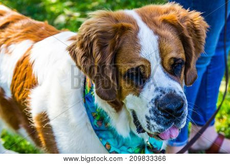 Large Dog  With Scarf Up For Adoption