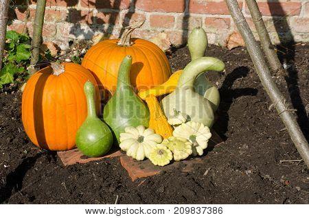 Pumpkins and Gourds arranged in garden and beanpoles