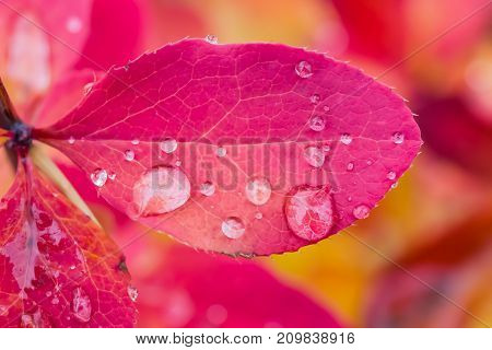 Red leaf barberry shrub with large rain drops, macro, autumn landscape