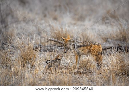 Black-backed jackal in Kruger national park, South Africa ; Specie Canis mesomelas family of Canidae