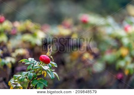 Red rosehip of a Rosa Rugosa shrub in the foreground in its own habitatat. It is autumn now and the colors of the leaves are changing.