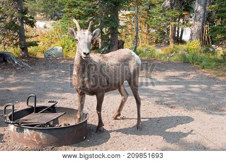 Adult Bighorn Sheep At Campground In Two Medicines Lake Region In Glacier National Park In Montana U