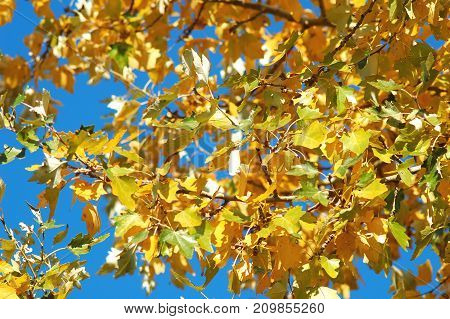 A Poplar Branch With Autumn Golden And Green Lush Foliage On The Background Of Blue Sky.