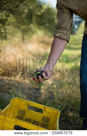 Farmer collecting a harvested olive from tree in farm