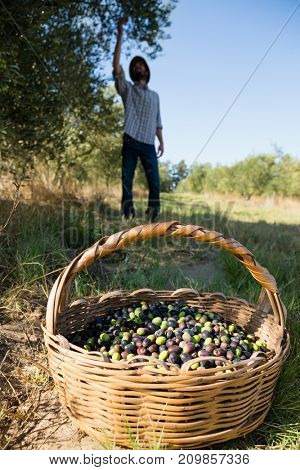 Farmer harvesting a olives from tree on a sunny day