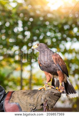 Parabuteo Unicinctus - Harris Hawk In An Animal Center With Paws On A Protective Glove