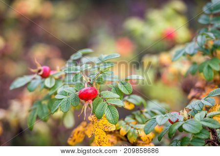 Closeup of striking red rosehips with seeds on a twig of a Rosa Rugosa shrub in the foreground. It is autumn now and the colors of the leaves are changing.