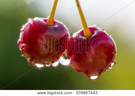 Closeup of two red cherries with drops of water on natural background. Sunstar in waterdrop. Selective focus. Shallow depth of field. Front view.