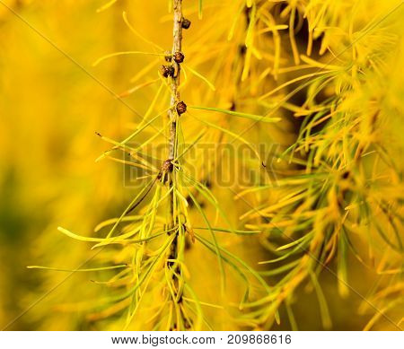 yellow needles on a tree in the nature